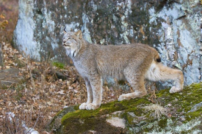 Download Lynx stock photo. Image of nature, lynx, woods, feline - 5554598