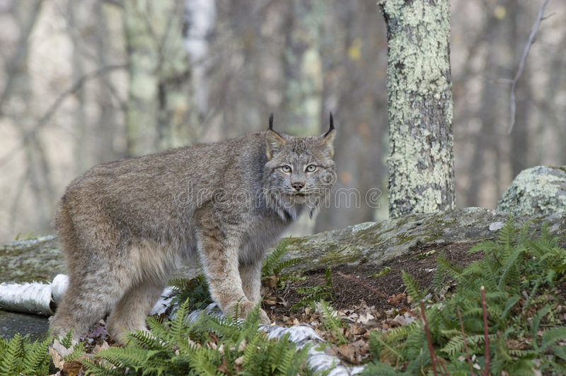 Download Lynx stock image. Image of nature, wild, outdoors, hunter - 5895035