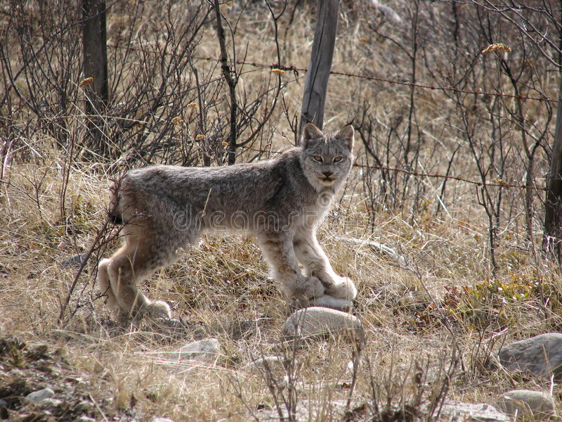 Download Lynx stock photo. Image of wild, grass, lynx, bush, stones - 661048
