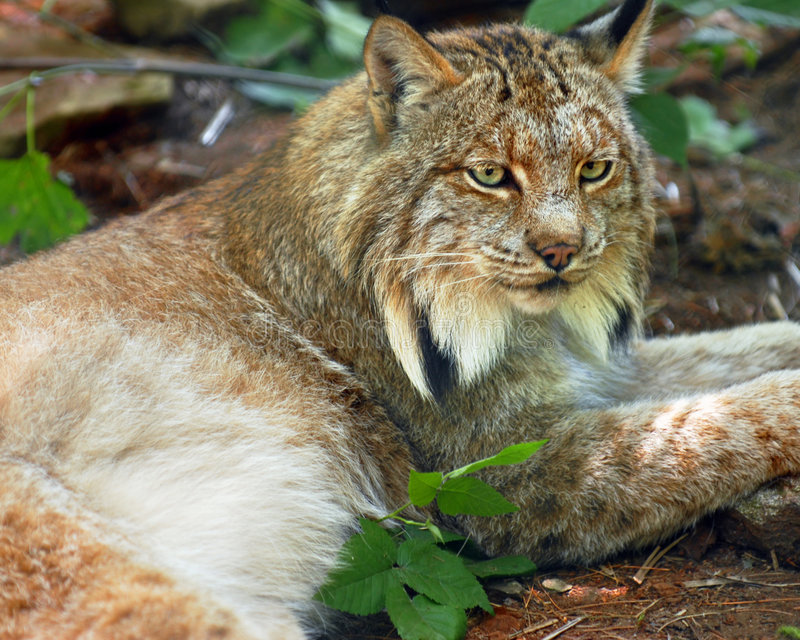 Download Lynx stock image. Image of brown, rest, green, animal - 7440287