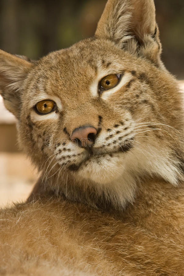 Lynx. Close up of a beautiful lynx royalty free stock image