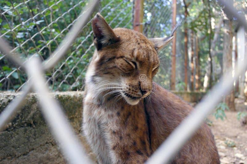 Lynx achter de omheining stock afbeelding