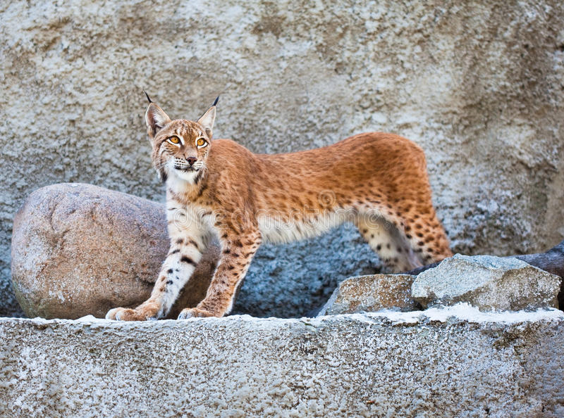 Download The Lynx Against A Concrete Wall Stock Photo - Image of object, color: 16422502