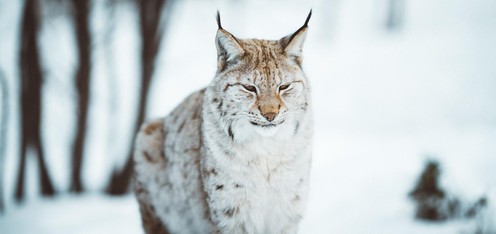 Lynx arctique photo stock