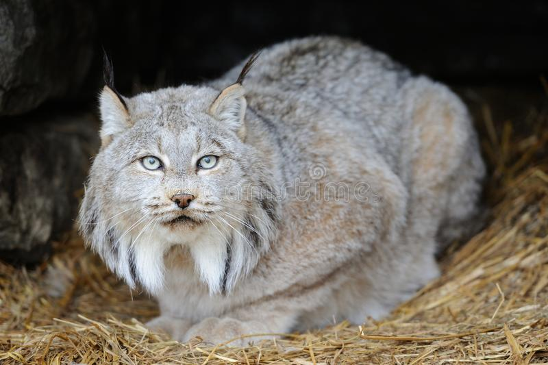 Lynx. This is a beautiful lynx in is abitat royalty free stock photo