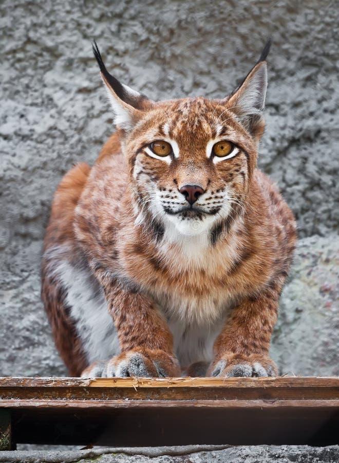 Download Lynx stock image. Image of carnivore, closeup, dangerous - 37090461