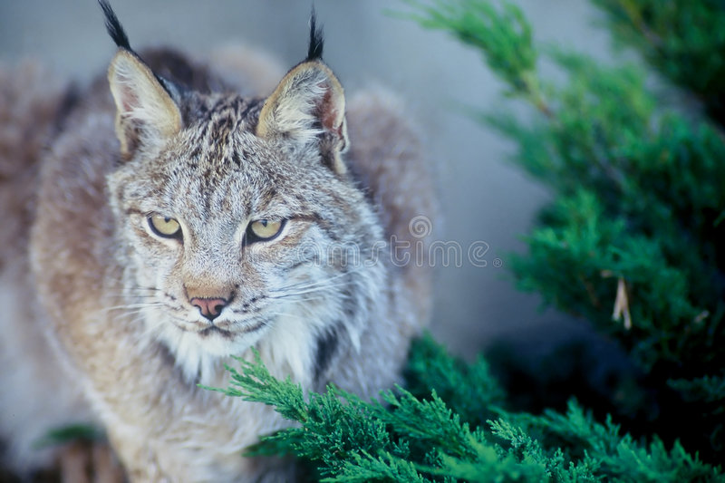 Download Lynx canadien photo stock. Image du evergreens, chasseur - 727572
