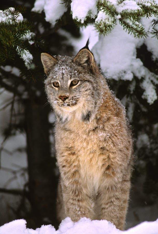 Lynx canadien en hiver image libre de droits