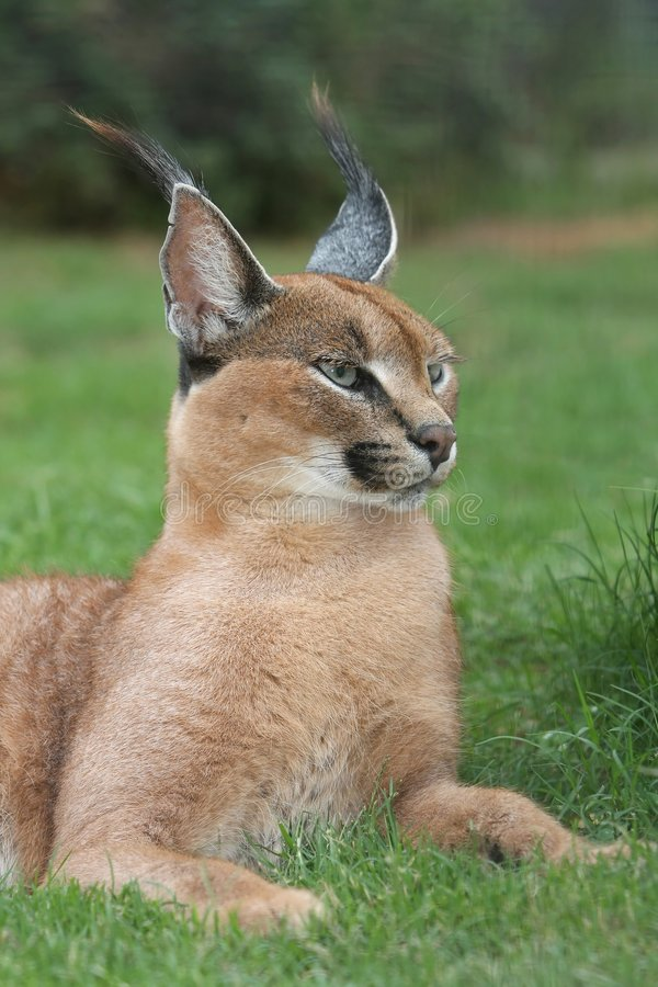 Lynx Or Caracal Wild Cat Royalty Free Stock Photography