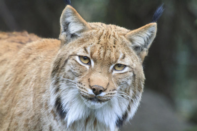 Lynx carpathien photo stock