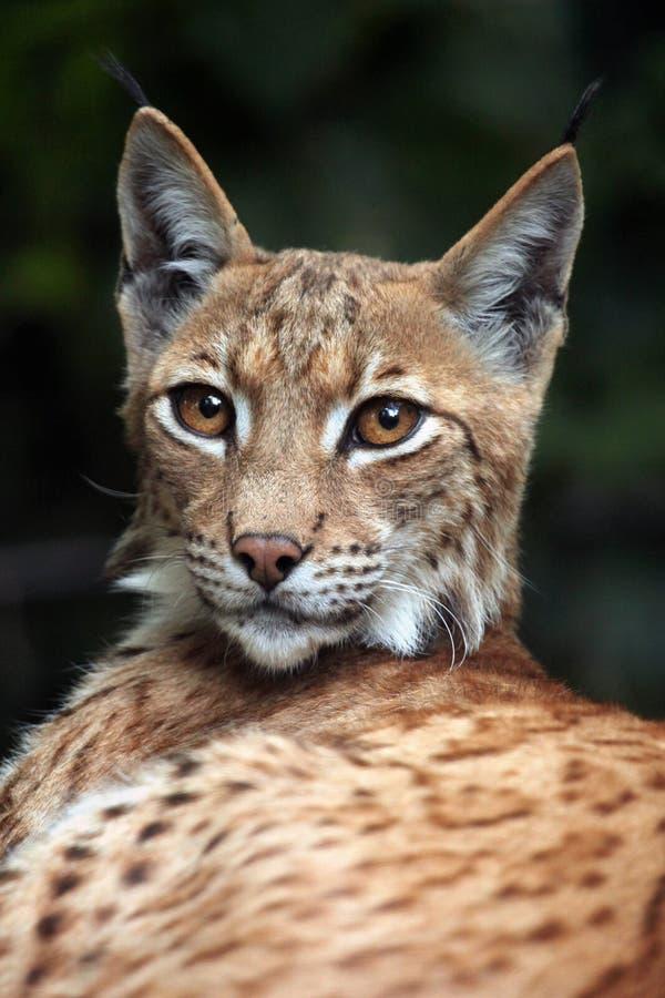 Lynx carpathien (carpathica de lynx de Lynx) photo libre de droits