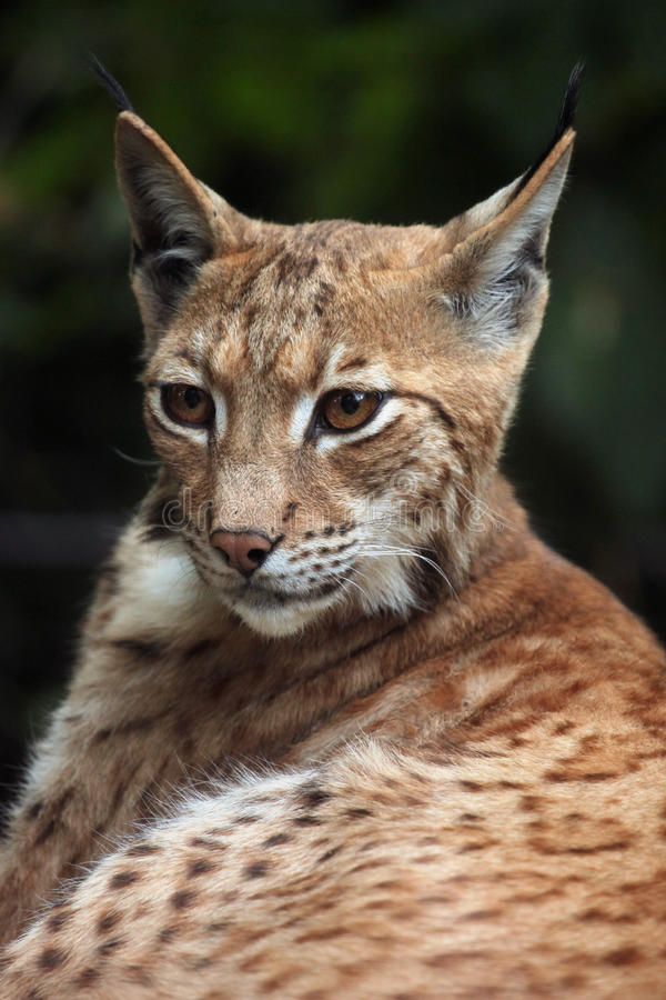 Lynx carpathien (carpathica de lynx de Lynx) photo stock