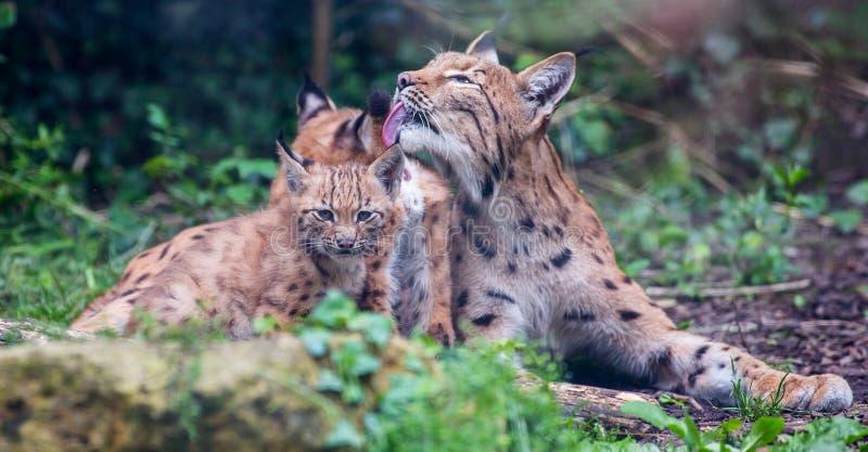 Lynx cat with kittens. Carpathian Lynx cat preening kittens / cubs stock photography