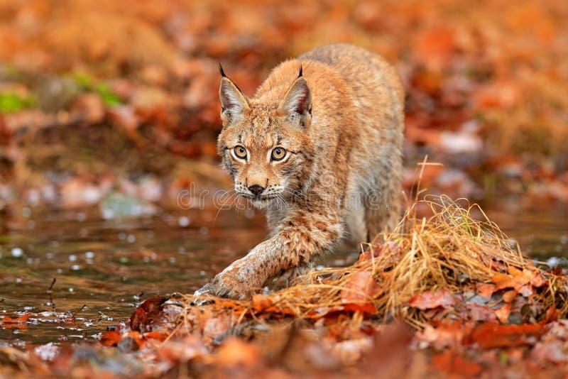 Lynx che cammina nelle foglie arancio con acqua Animale selvatico nascosto nell'habitat della natura, Germania Scena della fauna  fotografia stock