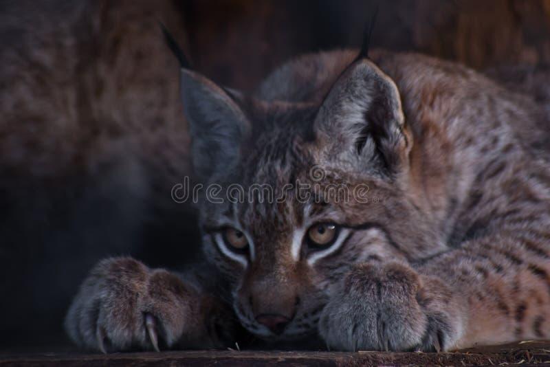 Lynx che si apposta in primo piano di agguato, posizione tesa, gambe con tagliente immagine stock libera da diritti