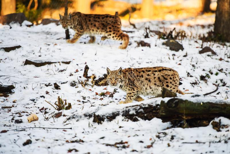 A lynx child hunting in the snow royalty free stock images
