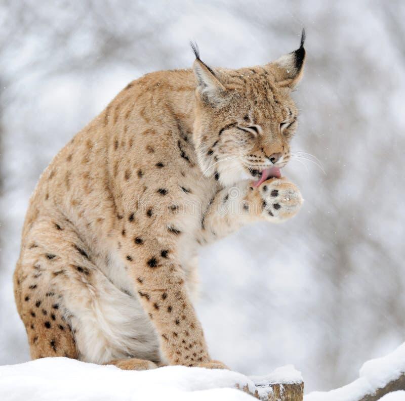 Lynx In De Winter Royalty-vrije Stock Fotografie