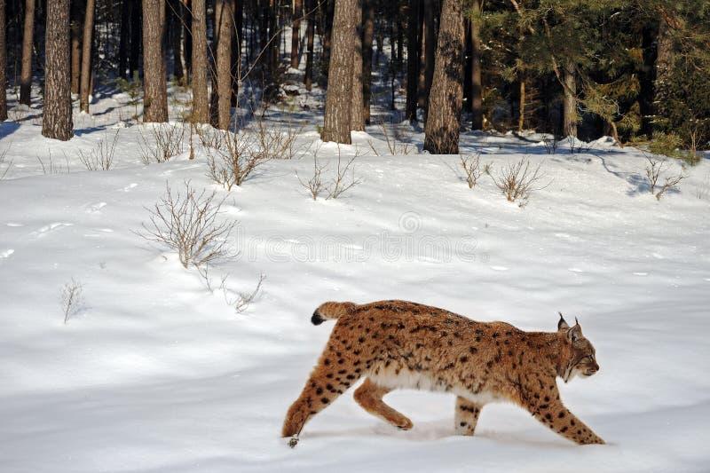 Lynx In De Winter Stock Foto