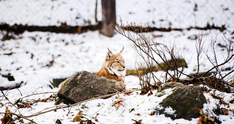 Lynx in de winter stock afbeelding