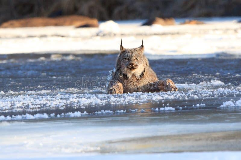 Lynx die door het ijs vallen stock afbeeldingen