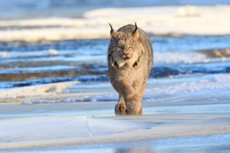 Lynx die voor prooi rondsnuffelen stock fotografie