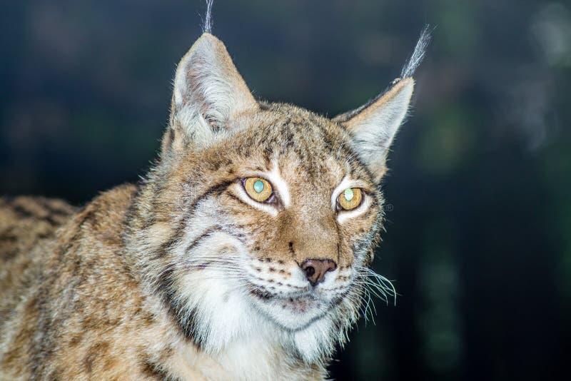 Lynx du nord photos stock