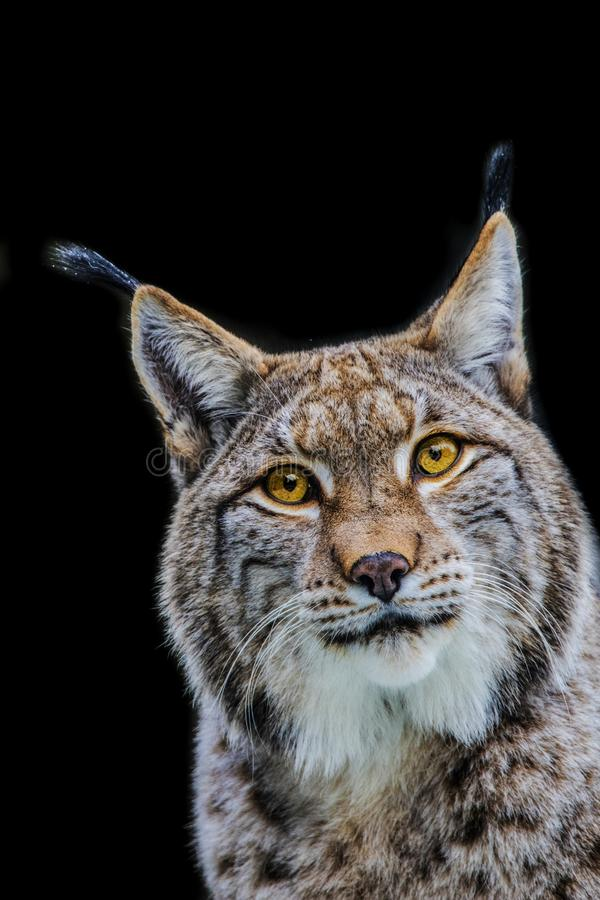 Lynx, Eurasian Lynx, Lynx lynx stock image