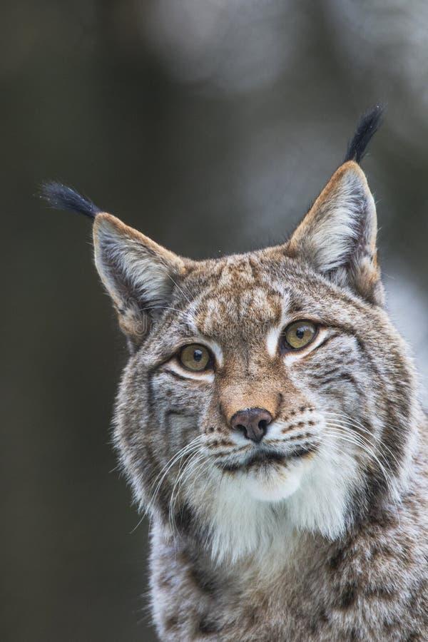 Lynx, Eurasian Lynx, Lynx lynx royalty free stock photo