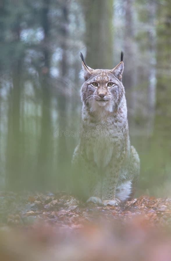 Lynx, Eurasian Lynx, Lynx lynx royalty free stock images