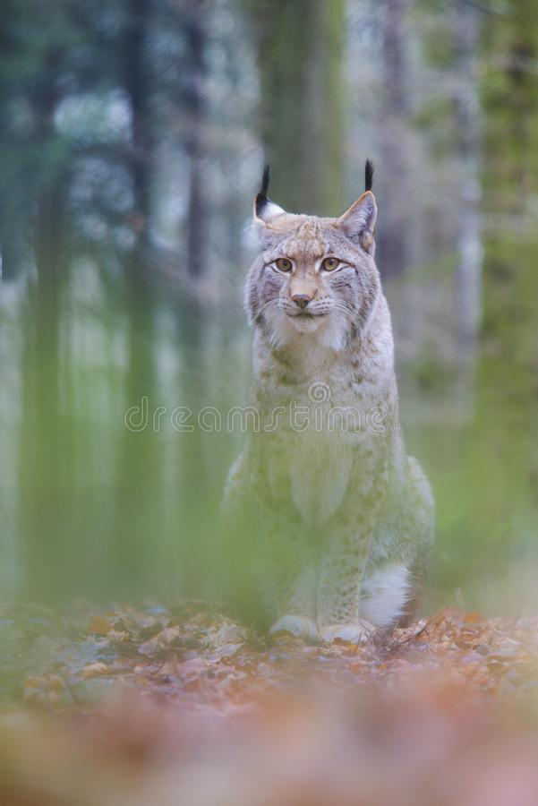 Lynx, Eurasian Lynx, Lynx lynx royalty free stock image