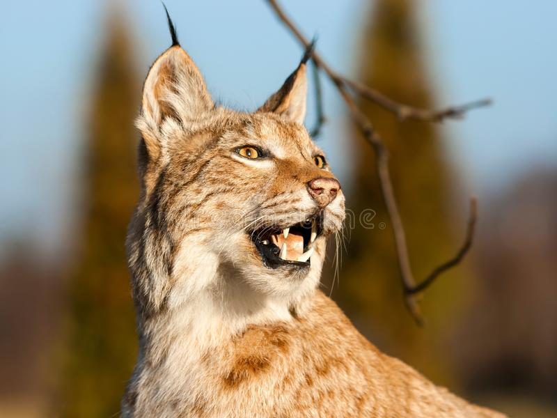 Lynx. European on blurry background stock photos