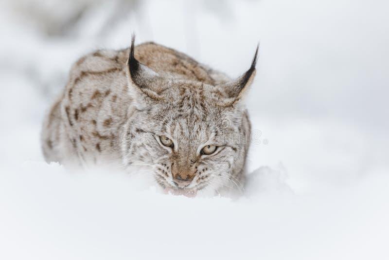Lynx feeding. A European Lynx feeding in deep snow stock images