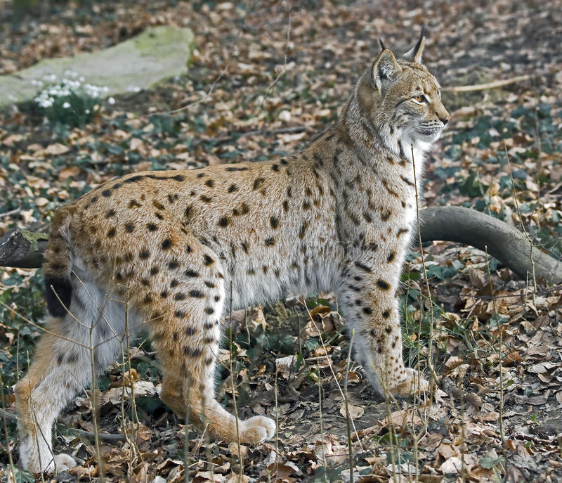 Download Lynx 2 Stock Images - Image: 30123474