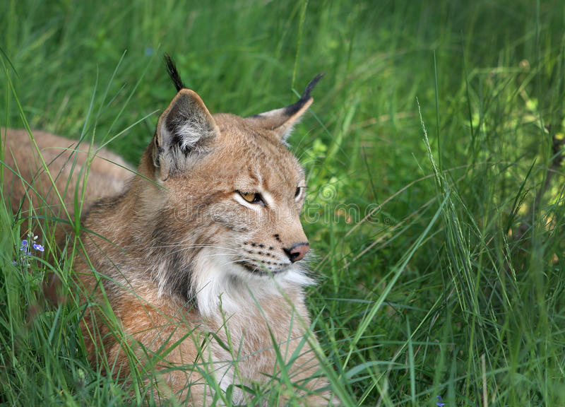 Download Lynx in forest stock photo. Image of animals, natural - 29378164