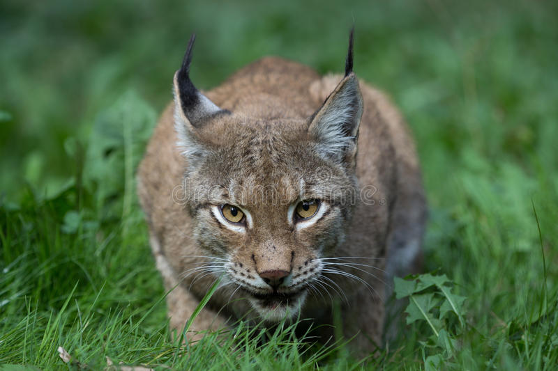 Lynx. Forest wildcat hunting view stock photos