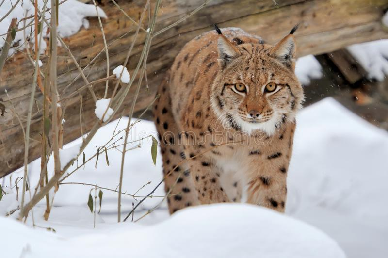 Lynx in forest. Young lynx in winter forest royalty free stock photo