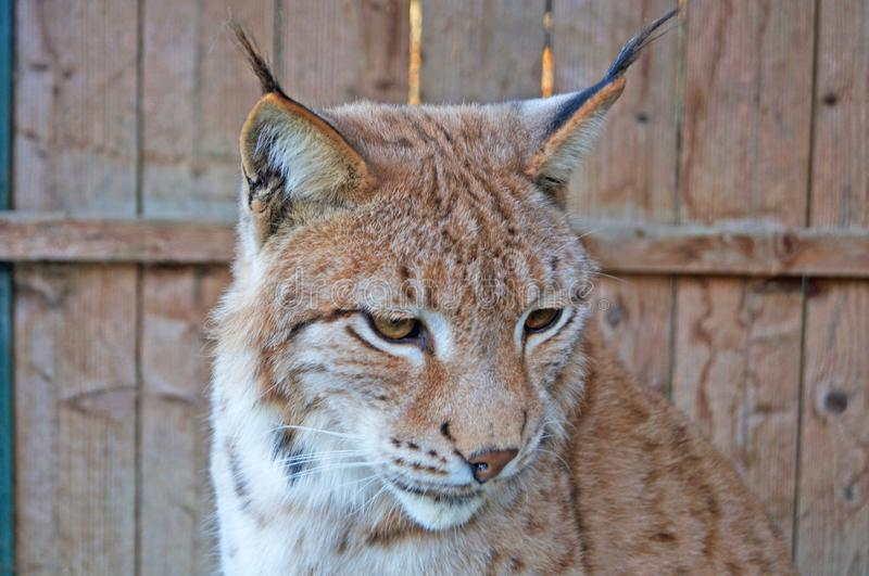 Lynx with gray beige white wool sits in a cage royalty free stock photo