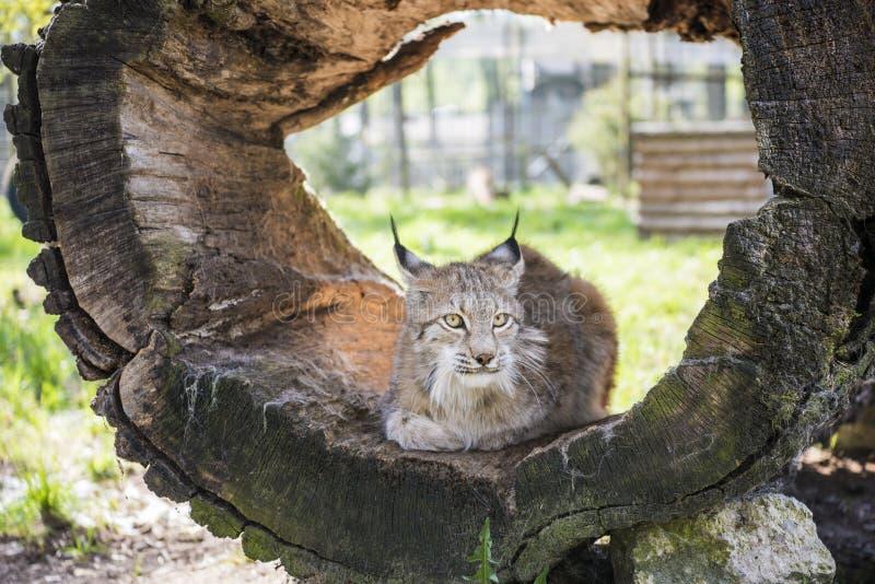 Lynx in groen bos met boomboomstam Het wildsc?ne van aard Zonnige de zomerdag royalty-vrije stock afbeeldingen