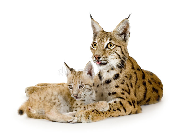 Download Lynx and her cub stock photo. Image of hugging, catlike - 2810390