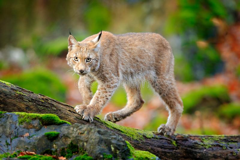 Lynx in het bos die Europees-Aziatische wilde kat op groene bemoste steen, groene bomen op achtergrond lopen Wilde kat in aardhab stock afbeelding