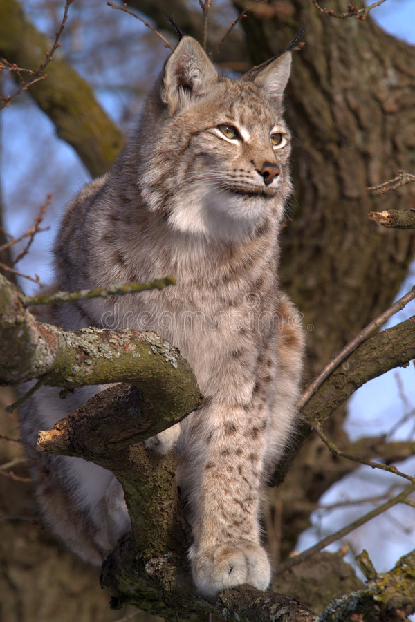 Download Lynx II stock photo. Image of carnivore, lookout, camouflage - 599764