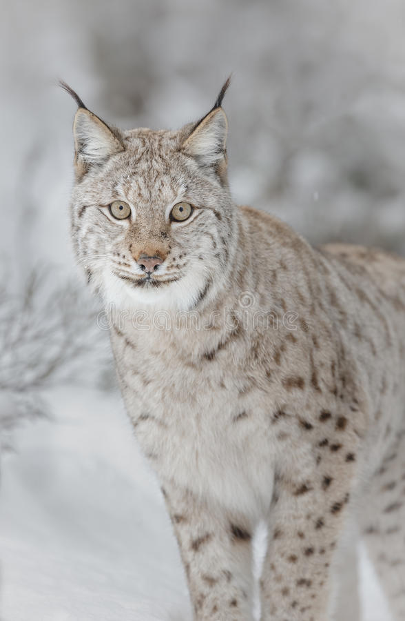 Free Lynx In Winter Royalty Free Stock Photo - 50712635