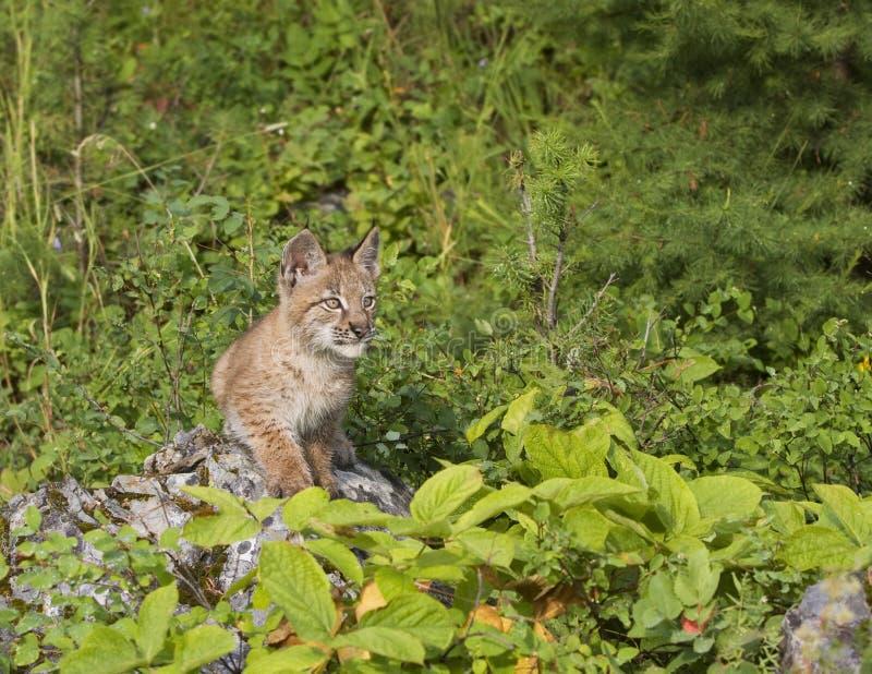 Lynx Kitten On A Rock Stock Photo
