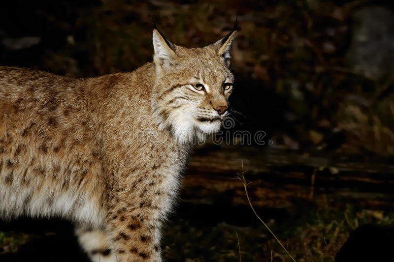 Download Lynx lynx stock image. Image of life, cute, hunter, brown - 13612995