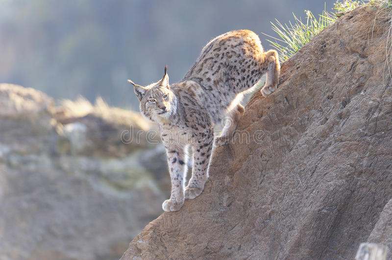 Lynx lynx. The Eurasian lynx is a species of carnivorous mammal of the Felidae family. He is the most common and well-known representative of the genus Lynx. It royalty free stock photography