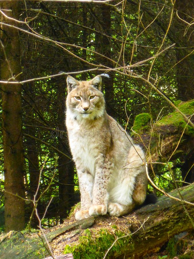 Lynx. In the wild in the Bavarian Forest, Germany stock photography