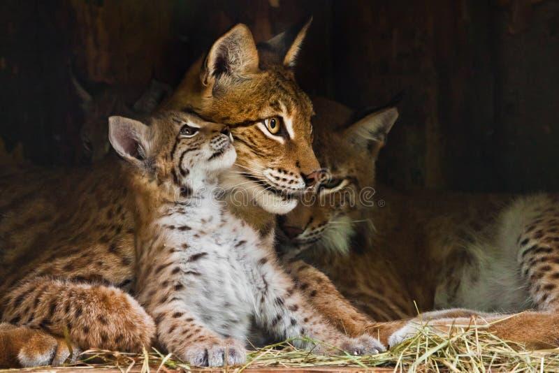 Lynx Mama spielt mit einem süßen, kleinen Luchs-Kätzchen, nett und lieblich stockbilder