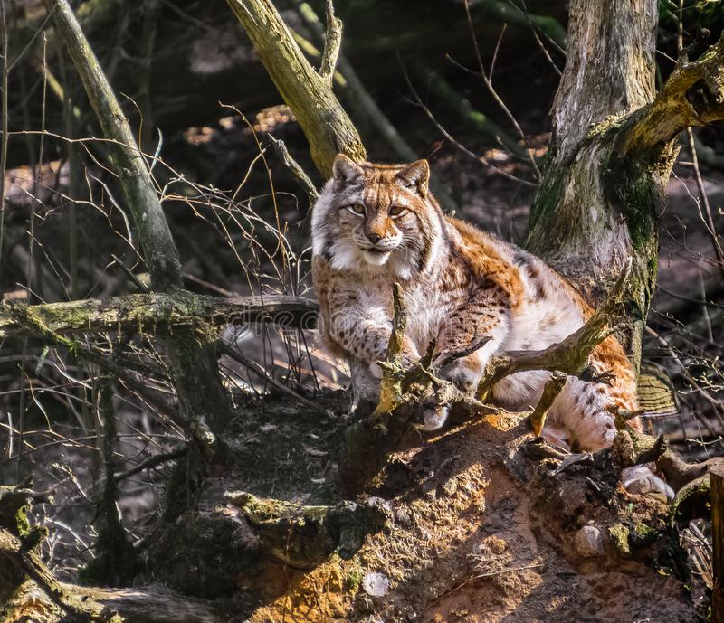 Lynx in nature stock image