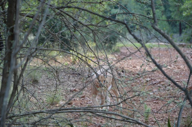Lynx in nature - South Africa royalty free stock photo