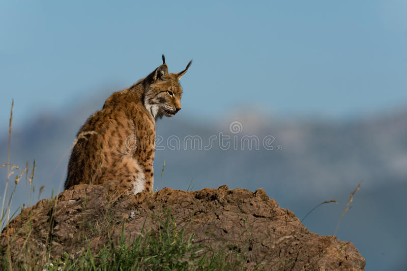 Lynx nel profilo su roccia che guarda giù fotografia stock